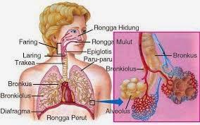 Organ pernafasan