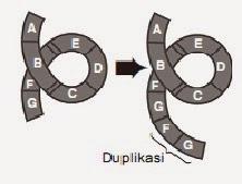 Skema terjadinya duplikasi pada kromosom