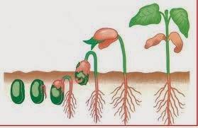 Gambar perkecambahan epigeal kacang hijau