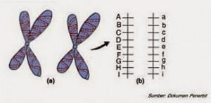 Pasangan gen pada satu kromosom homolog