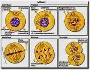 Gambar pembelahan meiosis