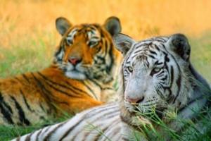 Harimau putih memiliki bulu putih sebagai hasil evolusi biologi
