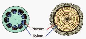 Struktur batang dikotil