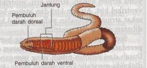 Sistem peredaran darah cacing tanah