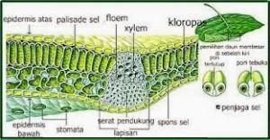 Struktur daun monokotil
