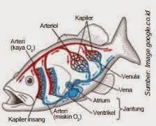 Sistem peredaran darah pada ikan
