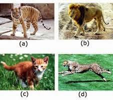 Keanekaragaman jenis pada harimau, singa, kucing dan cetah