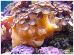 51 Contoh Gambar Hewan Filum Porifera Gratis