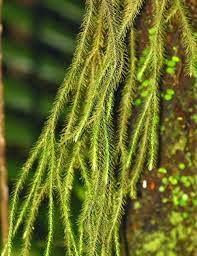 Lycopodium sp