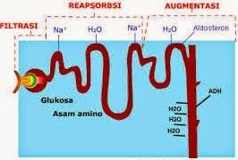 Proses kimia dalam ginjal