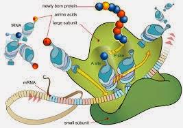 Struktur ribosom