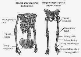 tulang rangka anggota gerak