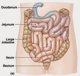 Bagian - bagian usus halus