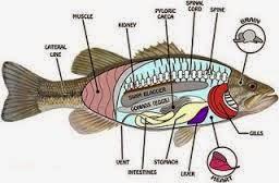 Rongga tubuh ikan