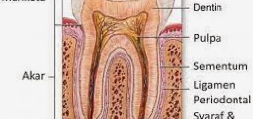 anatomi-2Bgigi