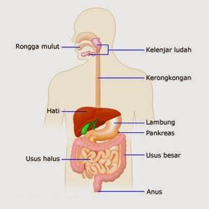 Anatomi pencernaan manusia