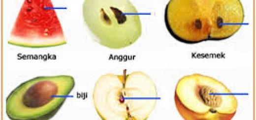 Biji angiospermae terlindungi daun buah