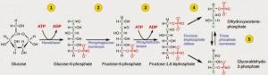 Fosforilasi glukosa