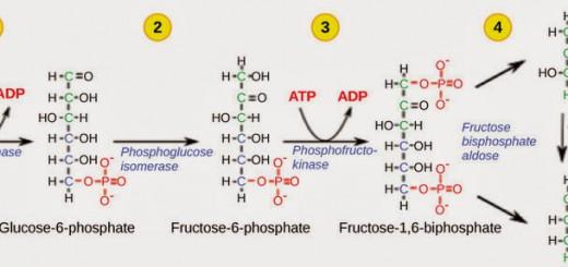Fosporilisasi-2Bglukosa