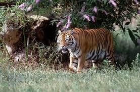 Harimau termasuk ke dalam Animalia