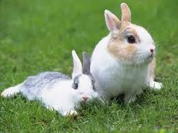 Kelinci merupakan hewan mamalia