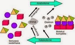 Metabolisme sel