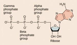 Molekul ATP