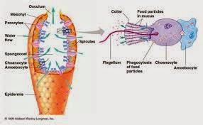 Morfologi spons
