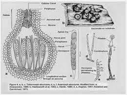 Struktur sel jamur