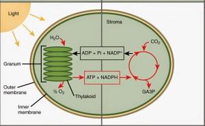 Dua tahapan fotosintesis
