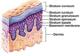 Epidermis kulit