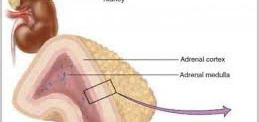 Korteks Adrenal