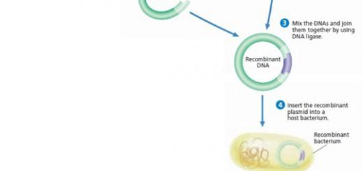 Rekayasa genetik e. coli untuk menghasilkan insulin