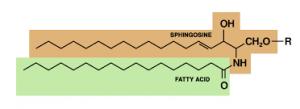 Rumus struktur sfingolipid