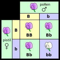 Sebuah kotak Punnett  menunjukkan kemungkinan variasi individu yang berbeda