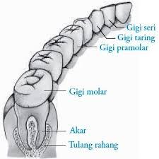 Gigi premolar