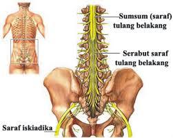 sumsum tulang belakang