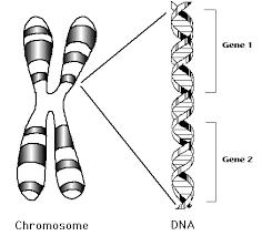 Kromosom dan DNA
