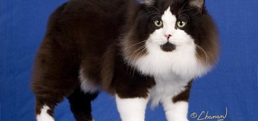 Manx Cat merupakan jenis kucing yang mengalami mutasi tulang belakang secara alami. Mutasi ini mengakibatkan kucing Manx lebih pendek ekornya