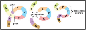 Proses mutasi inversi