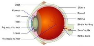 Saraf pada mata untuk penglihatan
