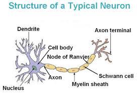 dendrit dan akson (neurit)